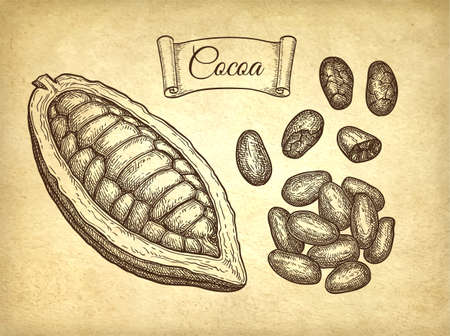 Cocoa pod and beans. Ink sketch on old paper background. Hand drawn vector illustration. Retro style. Archivio Fotografico - 108149243