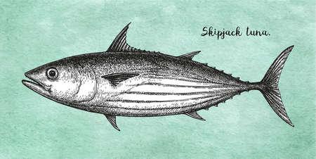 Ink sketch of skipjack tuna. Stock Photo