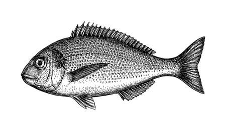 Ink sketch of gilt-head sea bream. Foto de archivo - 108653460