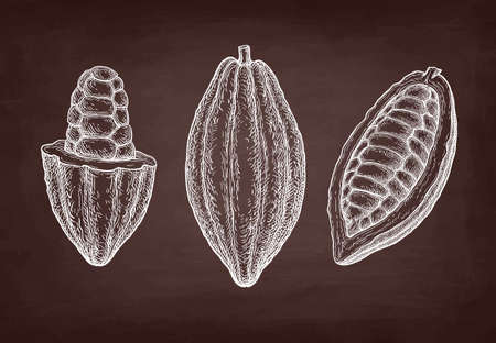 Cocoa fruits. Chalk sketch on blackboard background. Hand drawn vector illustration. Retro style.