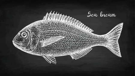 Chalk sketch of gilt-head sea bream. Hand drawn vector illustration of fish on blackboard background. Hand drawn vector illustration. Retro style.