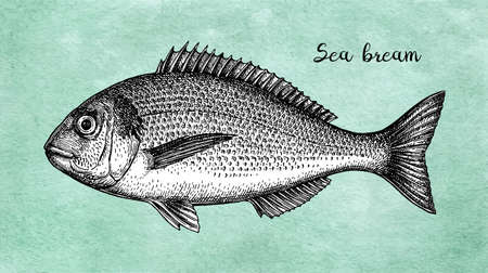 Ink sketch of gilt-head sea bream. Hand drawn vector illustration of fish on old paper background. Retro style. Stock Illustratie