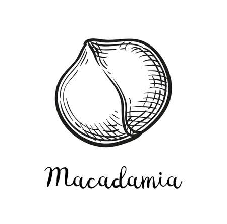 Ink sketch of Macadamia. Hand drawn vector illustration of nut. Isolated on white background. Retro style. Stock Vector - 108893506