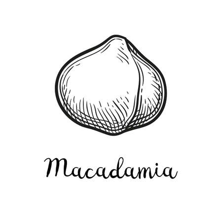 Ink sketch of Macadamia. Hand drawn vector illustration of nut. Isolated on white background. Retro style.