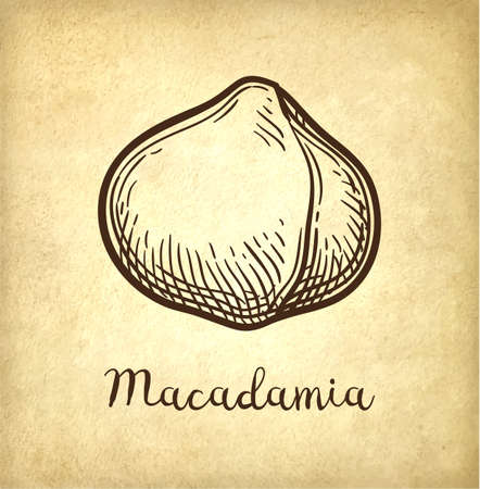 Ink sketch of Macadamia. Hand drawn vector illustration of nut on old paper background. Retro style.
