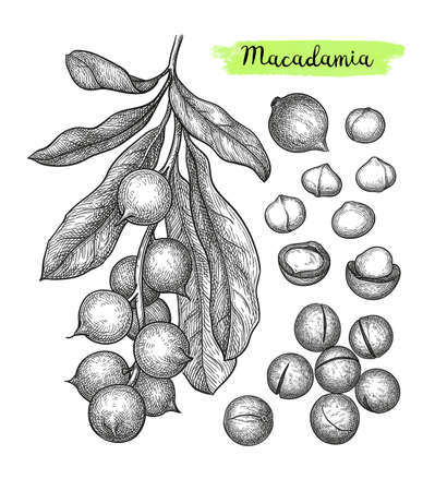 Ink sketch of Macadamia. Hand drawn vector illustration of nut. Isolated on white background. Retro style. Stock Vector - 109252475