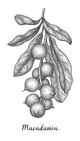 Ink sketch of Macadamia branch. Hand drawn vector illustration of nut. Isolated on white background. Retro style.