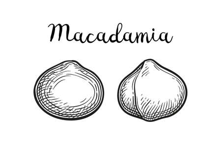 Ink sketch of Macadamia. Иллюстрация
