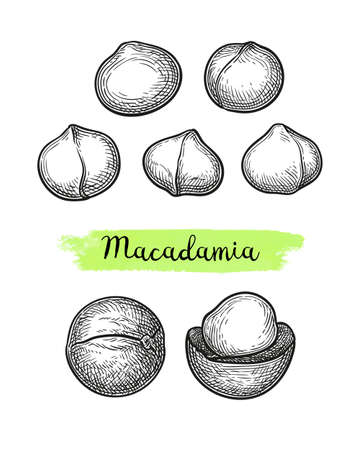 Ink sketch of Macadamia. 向量圖像