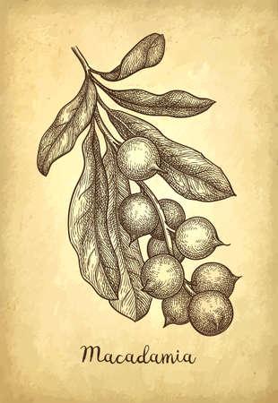 Ink sketch of Macadamia. Stock Vector - 110468924