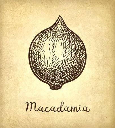 Ink sketch of Macadamia. Illustration