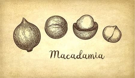Ink sketch of Macadamia.