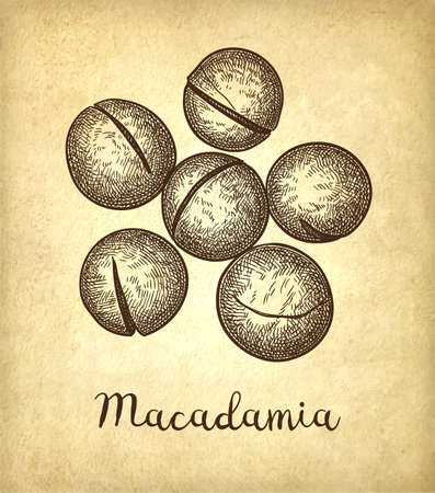Ink sketch of Macadamia. Stock Vector - 110473724
