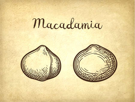 Ink sketch of Macadamia. 일러스트