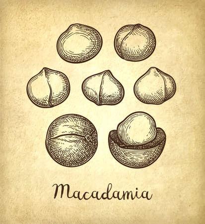 Ink sketch of Macadamia. Stock Vector - 110473735