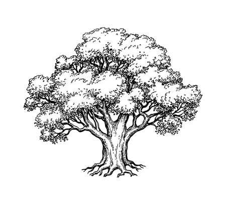 Ink sketch of oak tree. Hand drawn vector illustration isolated on white background. Retro style. Ilustração