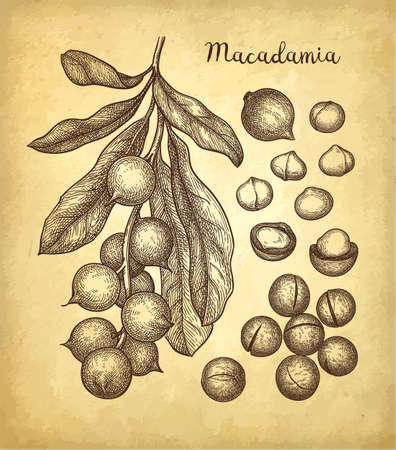 Ink sketch of Macadamia. Stock Illustratie