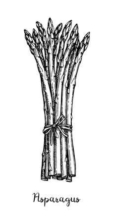 Croquis à l'encre d'asperges. Isolé sur fond blanc. Illustration vectorielle dessinés à la main. Style rétro. Vecteurs