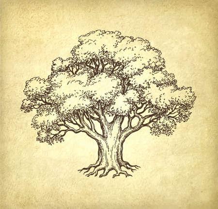 Dibujo tinta de roble. Ilustración de vector dibujado a mano sobre fondo de papel viejo. Estilo retro.
