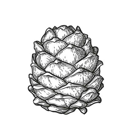 Ink sketch of pine cone.