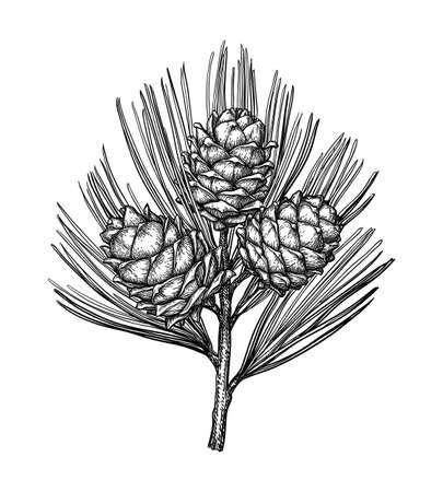 Tintenskizze von Pinienkernen.