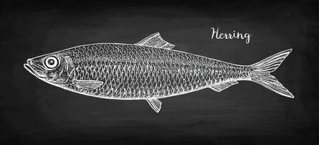 Chalk sketch of herring on blackboard background. Hand drawn vector illustration. Retro style. Archivio Fotografico - 126311368