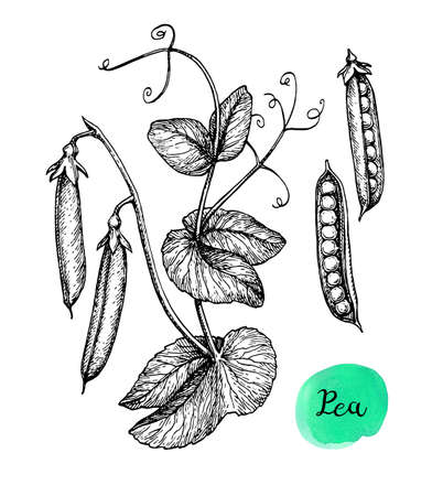 Ink sketch of pea. Isolated on white background. Hand drawn vector illustration. Retro style. Ilustração