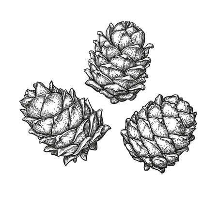 Ink sketch of pine cones. Illustration