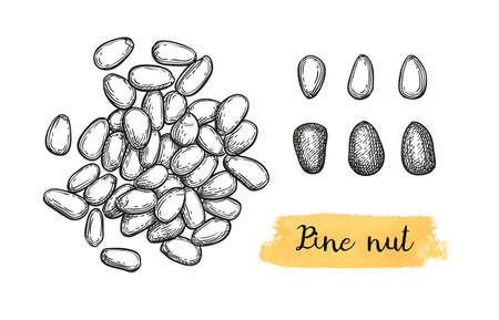 Ink sketch of pine nut. Иллюстрация
