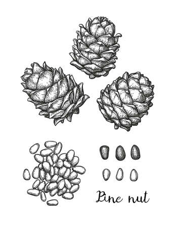 Ink sketch of pine nut. Banque d'images - 117271975
