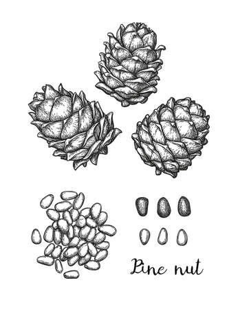 Ink sketch of pine nut. Illustration
