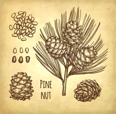 Ink sketch of pine nut. Hand drawn vector illustration on old paper background. Retro style.