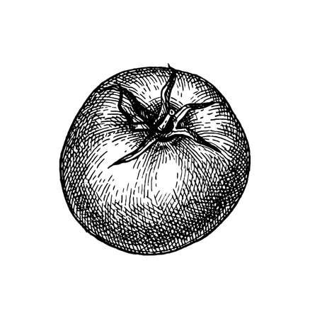 Ink sketch of tomato isolated on white background. Hand drawn vector illustration. Retro style. Ilustração