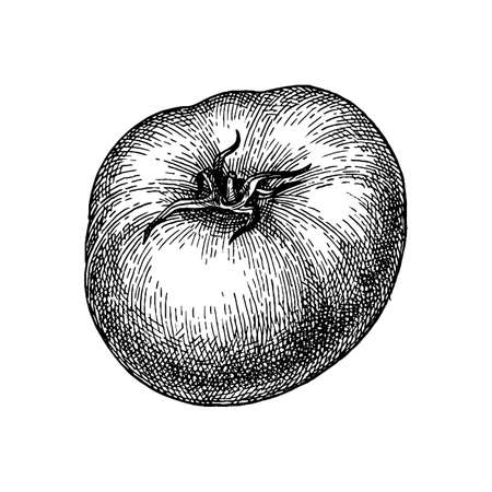 Ink sketch of tomato isolated on white background. Hand drawn vector illustration. Retro style. Illustration