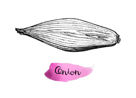 Ink sketch of onion isolated on white background. Hand drawn vector illustration. Retro style. 일러스트
