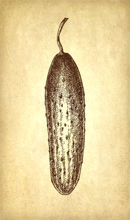 Ink sketch of cucumber isolated on old paper background. Hand drawn vector illustration. Retro style.
