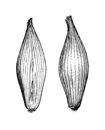 Ink sketch of onion isolated on white background. Hand drawn vector illustration. Retro style. Ilustracja
