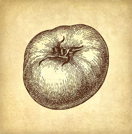 Ink sketch of tomato on old paper background. Hand drawn vector illustration. Retro style.