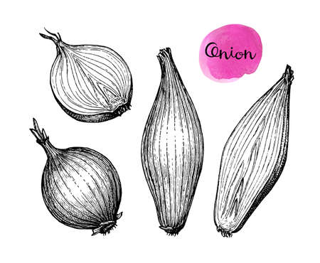 Ink sketch of onion isolated on white background. Hand drawn vector illustration. Retro style. 版權商用圖片 - 125653494