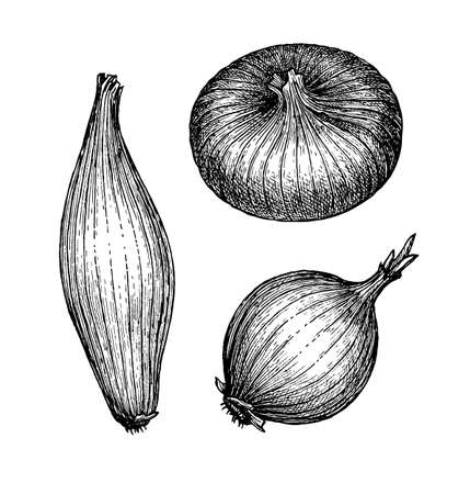 Ink sketch of onion isolated on white background. Hand drawn vector illustration. Retro style. 向量圖像