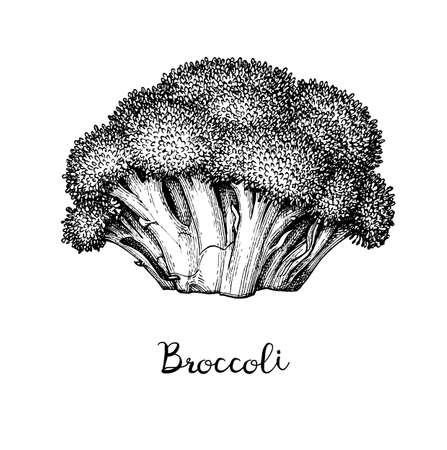 Dibujo tinta de brócoli aislado sobre fondo blanco. Ilustración de vector dibujado a mano. Estilo retro