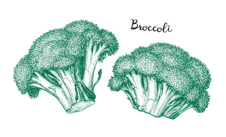 Ink sketch of broccoli isolated on white background. Hand drawn vector illustration. Retro style 일러스트