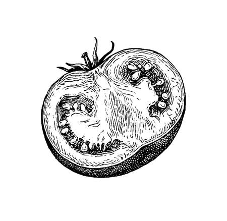 Ink sketch of tomato isolated on white background. Hand drawn vector illustration. Retro style. 일러스트
