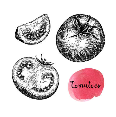 Ink sketch of tomatoes isolated on white background. Hand drawn vector illustration. Retro style. Stock Vector - 116513534