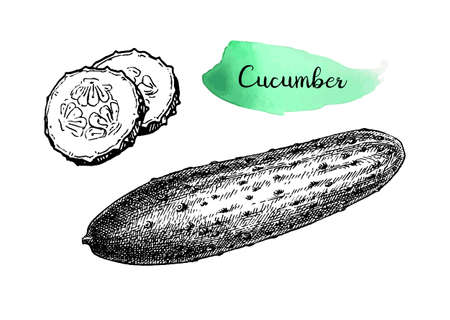 Ink sketch of cucumber.