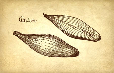 Ink sketch of onion on old paper background. Hand drawn vector illustration. Retro style.