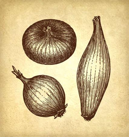 Ink sketch of onion. Ilustracja