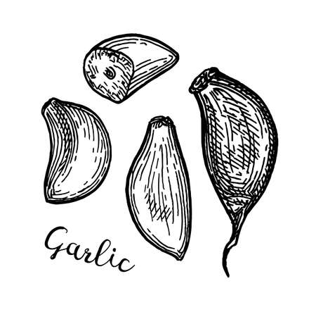 Ink sketch of garlic.