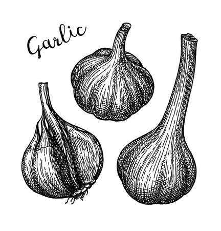 Ink sketch of garlic.