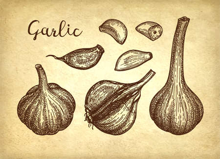 Ink sketch of garlic on old paper background. Hand drawn vector illustration. Retro style. Ilustração